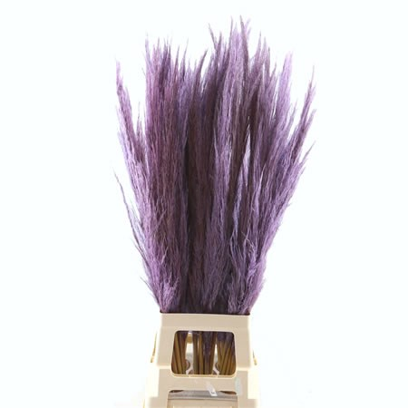 Cortaderia Pampas Grass Dyed Lilac/Purple