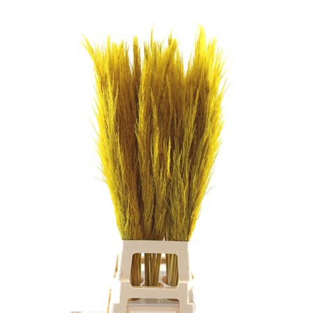 Cortaderia Pampas Grass Dyed Yellow