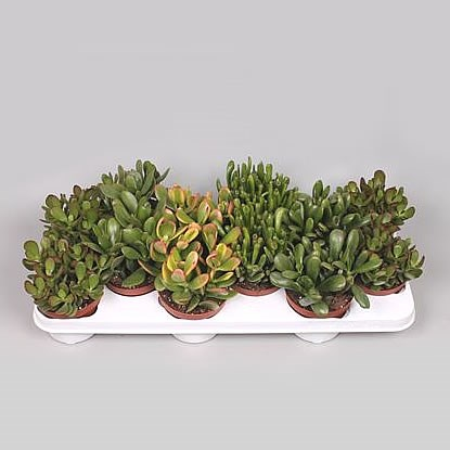 Crassula Plants Winco Mix (12s)