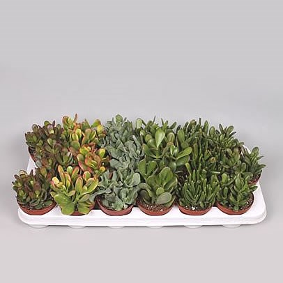 Crassula Plants Winco Mix (18s)