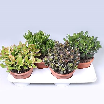 Crassula Plants Winco Mix (4s)