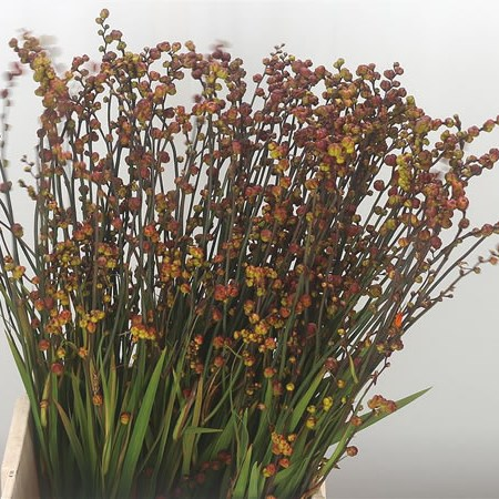 Crocosmia Berries of Babylon