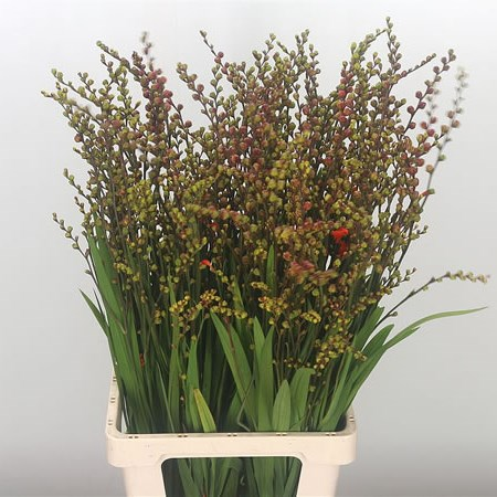 Crocosmia Fire King (in berry)