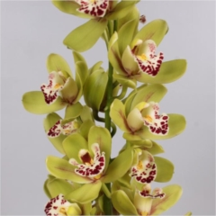 Cymbidium Orchid Green (buyers choice)