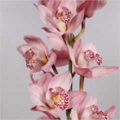 Cymbidium Orchid Pink (buyers choice)
