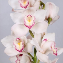 Cymbidium Orchid White (buyers choice)