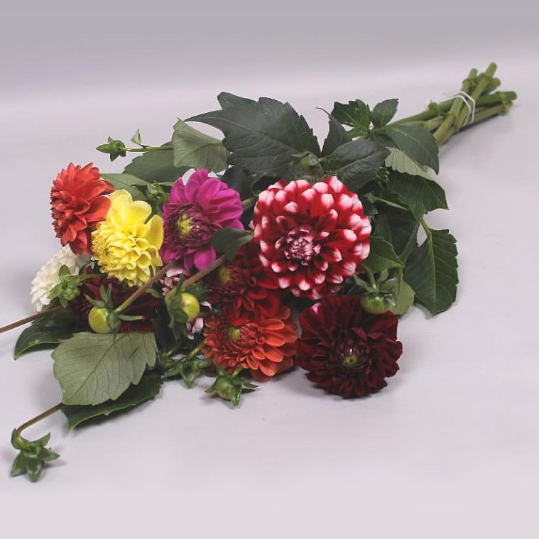 Dahlia Mix (Colours may vary to image)