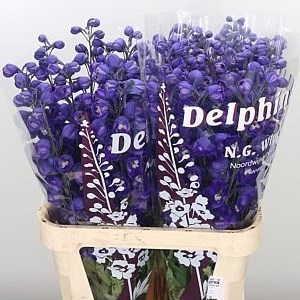 DELPHINIUM DEWI DARK ANGEL
