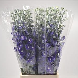 DELPHINIUM DOUBLE DEWI BLUE STAR