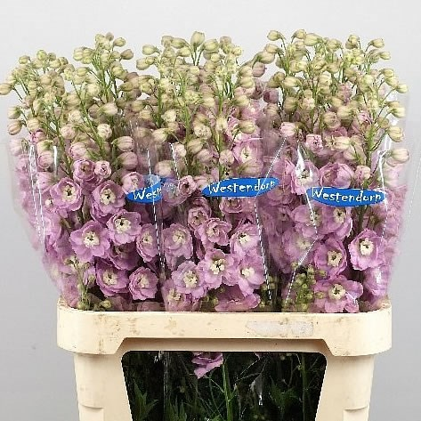 DELPHINIUM KISSI LOVELY PINK