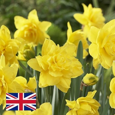 Daffodils - Golden Ducat Double (English)