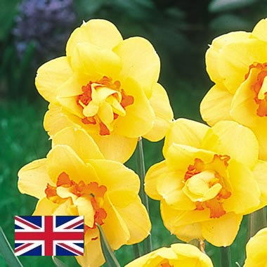 Daffodils - Tahiti Double (English)