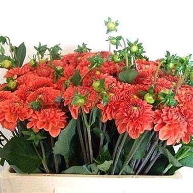 Dahlia Orange Fox (Bulk Pack)