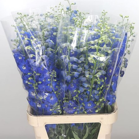 Delphinium Blue Candy Shades