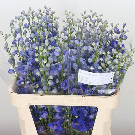 Delphinium Blue Hollands Glory