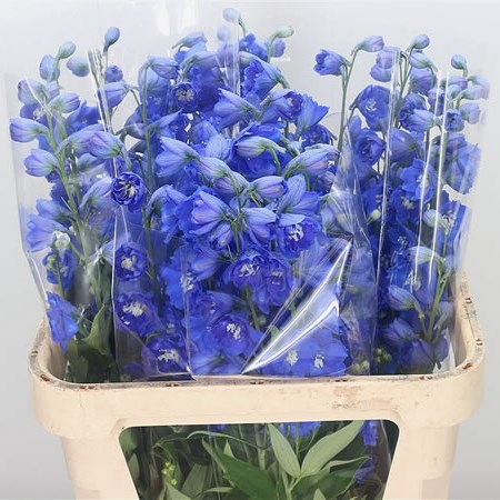 Delphinium Kings Blue Arrow