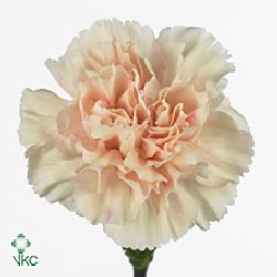 Carnation Apple Tea