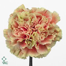 Carnation Belle Epoque