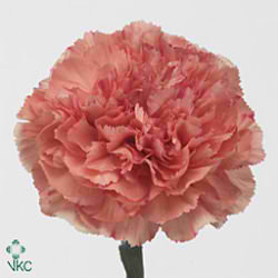 Carnation Lion King