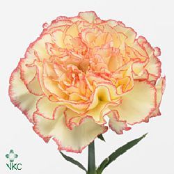 Carnation Yellow Viana
