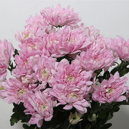 A1 Chrysant Double Pink