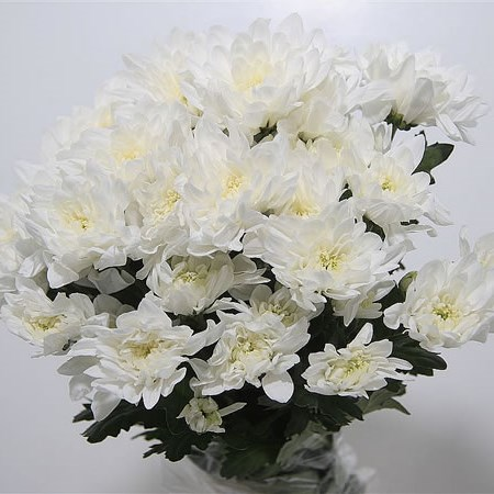 A1 Chrysant Double White