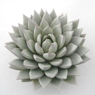 ECHEVERIA PAINTED WHITE 12cm