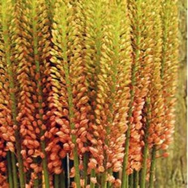 EREMURUS ORANGE PRINCESS