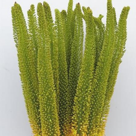 EREMURUS YELLOW IMPACT
