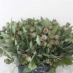 EUCALYPTUS ROBUSTA WITH BERRIES