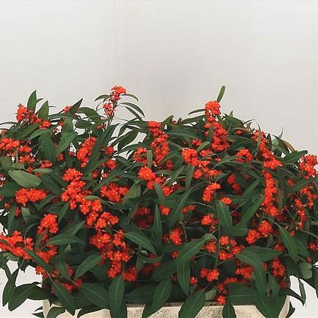 EUPHORBIA SPRAY ORANGE