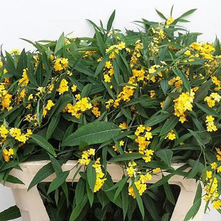 EUPHORBIA SPRAY YELLOW