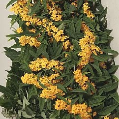EUPHORBIA YELLOW