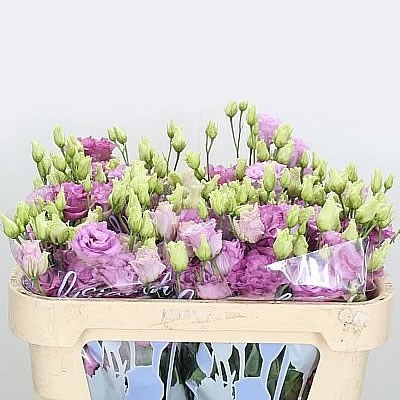 EUSTOMA LISIANTHUS DBL. ALISSA CELEB GRAPE