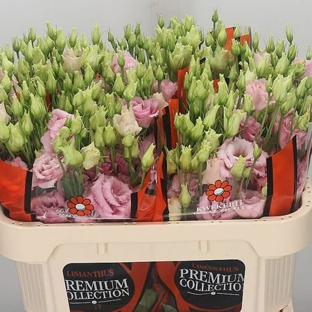 EUSTOMA LISIANTHUS DBL. ALISSA LIGHT PINK