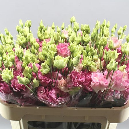 EUSTOMA LISIANTHUS DBL. ALISSA PINK FLASH
