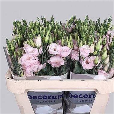 EUSTOMA LISIANTHUS DBL. ARENA LIGHT PINK