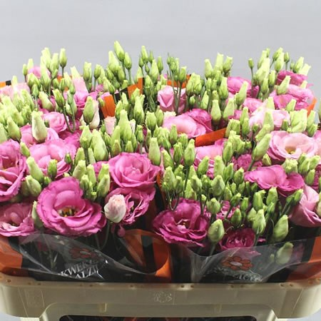 EUSTOMA LISIANTHUS DBL. EXCALIBUR HOT PINK