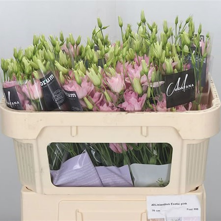 EUSTOMA LISIANTHUS DBL. EXOTIC PINK