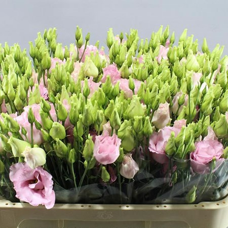 EUSTOMA LISIANTHUS DBL. KOREZO LIGHT PINK