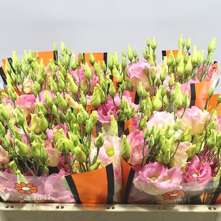 EUSTOMA LISIANTHUS DBL. MEGA LIGHT CHAMPAGNE