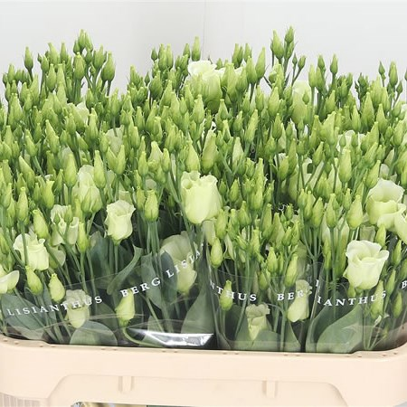 EUSTOMA LISIANTHUS PICCOLO GREEN