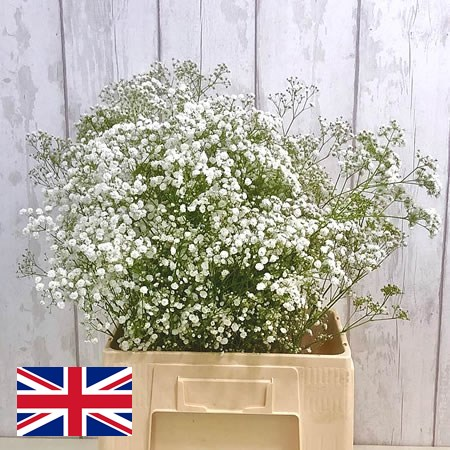 Gypsophila - English Grown
