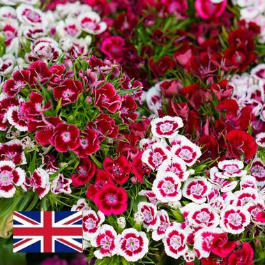English Sweet Williams (Dianthus)