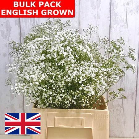 Gypsophila Bulk Pack - English Grown