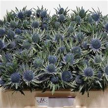 Eryngium (thistle) Aquarius Questar