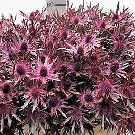 Eryngium Orion Dyed Cerise