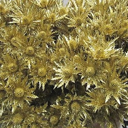 ERYNGIUM ORION DYED GOLD + GLITTER