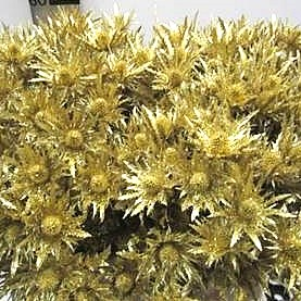 Eryngium Orion Dyed Gold