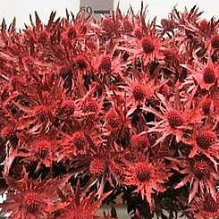 Eryngium Orion Dyed Red